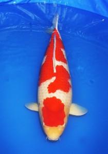 紅白 84cm